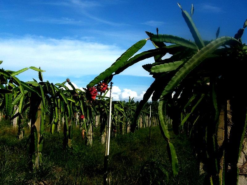 Kebun buah naga, Bangka Botanical Garder